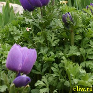 Анемона корончатая (anemone coronaria)  ()