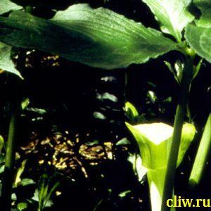 Аризема амурская (arisaema amurense) ароидные (araceae)