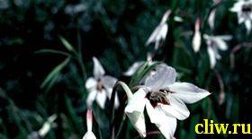 Ацидантера двухцветная (acidanthera bicolor) касатиковые (iridaceae)