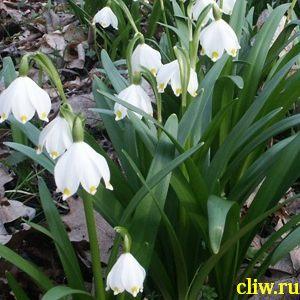 Белоцветник весенний (leucomis vernum) амариллисовые (amaryllidaceae)