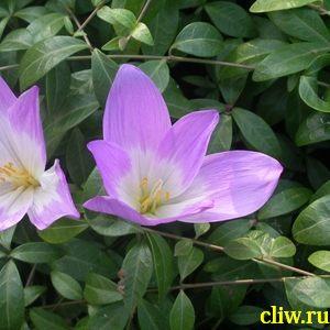 Безвременник осенний (colchicum automnale) лилейные (liliaceae)