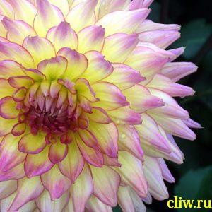 Георгина культурная (dahlia cultorum) астровые (asteraceae)