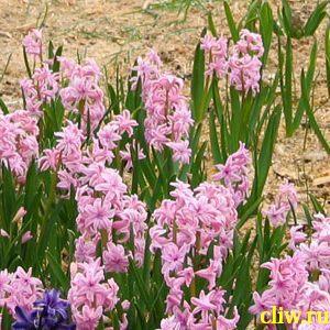 Гиацинт восточный (hyacinthus orientalis) гиацинтовые (hyacinthaceae)