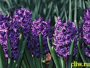 Гиацинт восточный (hyacinthus orientalis) лилейные (liliaceae) ostara