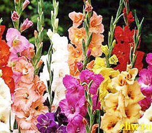 Гладиолус гибридный (gladiolus hybridus) касатиковые (iridaceae)