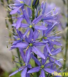 Камассия кузикка (camassia cusickii) лилейные (liliaceae)