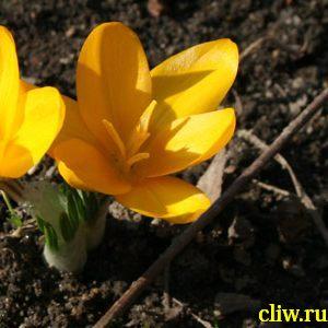 Крокус желтый (crocus flavus) касатиковые (iridaceae)