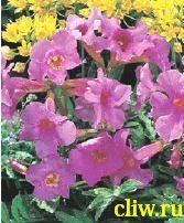 Инкарвиллея делавея (incarvillea delavayi) бигнониевые (bignoniaceae)