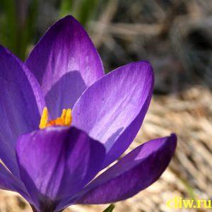 Крокус весенний (crocus vernus) касатиковые (iridaceae)