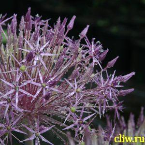 Лук христофа (allium christophii) луковые (alliaceae)