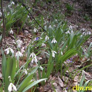 Подснежник белоснежный (galanthus nivalis) амариллисовые (amaryllidaceae)