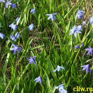Пролеска сибирская (scilla siberica) лилейные (liliaceae)