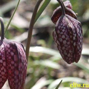 Рябчик шахматный (fritillaria meleagris) лилейные (liliaceae)