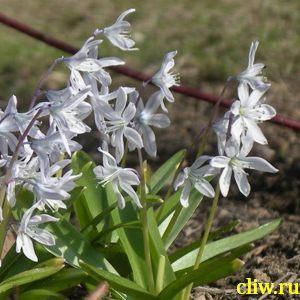 Пушкиния пролесковидная (puschkinia scilloides) лилейные (liliaceae)