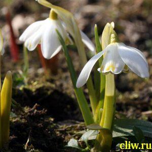 Подснежник белоснежный (galanthus nivalis) амариллисовые (amaryllidaceae) flore pleno