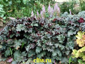Гейхера  (heuchera ) камнеломковые (saxifragaceae) silver indiana