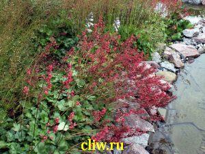 Гейхера кроваво-красная (heuchera sanguinea) камнеломковые (saxifragaceae) splendens
