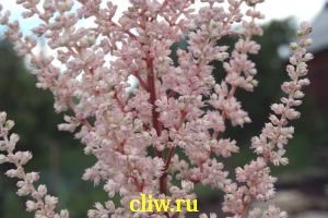 Астильба арендса (astilbe arendsii) камнеломковые (saxifragaceae) erica