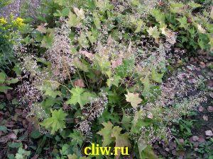 Гейхера мелкоцветковая (heuchera micrantha) камнеломковые (saxifragaceae)