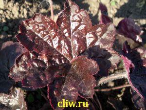 Гейхера мелкоцветковая (heuchera micrantha) камнеломковые (saxifragaceae) palace purple