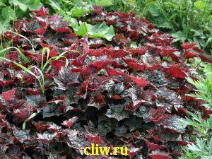 Гейхера мелкоцветковая (heuchera micrantha) камнеломковые (saxifragaceae) rachel