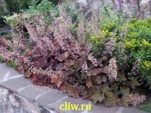 Гейхера мелкоцветковая (heuchera micrantha) камнеломковые (saxifragaceae) schusta daisy