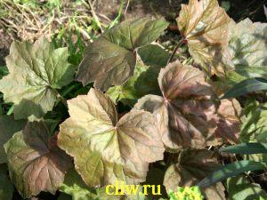 Гейхера мохнатая (heuchera villosa) камнеломковые (saxifragaceae) purpurea