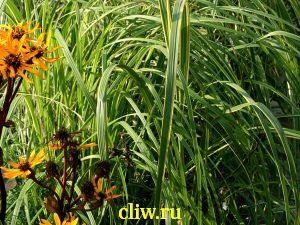 Спартина мишо (spartina michauxiana) мятликовые (poaceae) aureomarginata