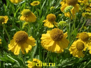 Гелениум гибридный (helenium hybridum) астровые (asteraceae) magrip
