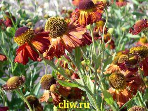 Гелениум гибридный (helenium hybridum) астровые (asteraceae) superbum rubrum