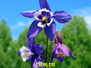 Аквилегия веерная (aquilegia flabellata) лютиковые (ranunculaceae)