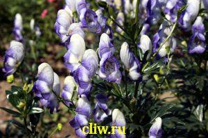 Аконит каммарум (aconitum ) лютиковые (ranunculaceae) bicolor