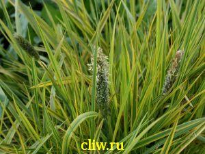 Алопекорус полевой (alopecurus ) мятликовые (poaceae) aureovariegatus