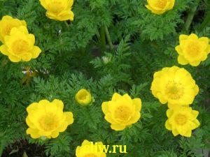 Адонис весенний (adonis vernalis) лютиковые (ranunculaceae)