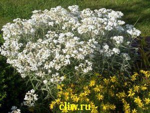Анафалис жемчужный (anaphalis ) астровые (asteraceae)