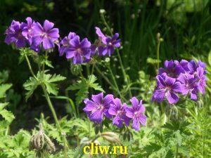Герань великолепная (geranium magnificum) гераниевые (geraniaceae)