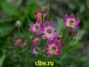 Анемона лессера (anemone lesseri) лютиковые (ranunculaceae)
