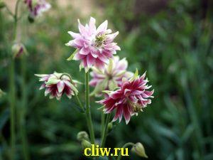 Аквилегия гибридная (aquilegia hybrida) лютиковые (ranunculaceae)