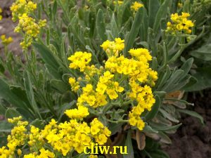 Алиссум серебристый (alyssum argenteum) капустные (brassicaceae)