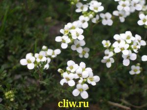 Гутчинзия альпийская (hutchinsia alpina) капустные (brassicaceae)