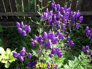 Аконит клобучковый (aconitum napellus) лютиковые (ranunculaceae)