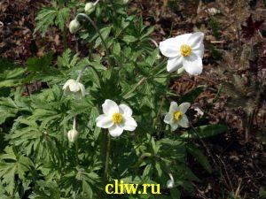 Анемона лесная (anemone ) лютиковые (ranunculaceae)