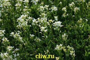 Арабис выбегающий (arabis procurrens) капустные (brassicaceae)
