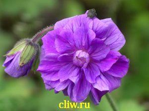 Герань гималайская (geranium himalayense) гераниевые (geraniaceae) birch double