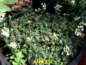 Арабис фердинанда кобургского (arabis fernandii coburgi) капустные (brassicaceae)
