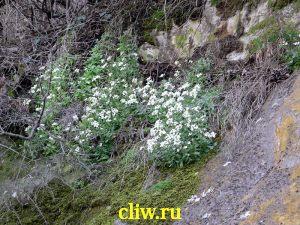 Арабис кавказский (arabis caucasica) капустные (brassicaceae)