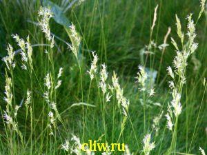 Овсяница метельчатая (festuca scoparia) мятликовые (poaceae)