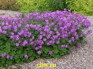 Герань кантабрийская (geranium cantabrigiense) гераниевые (geraniaceae) cambridge