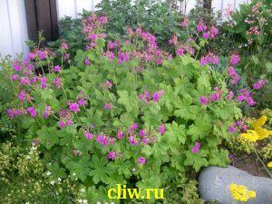 Герань крупнокорневищная (geranium macrorrhizum) гераниевые (geraniaceae)