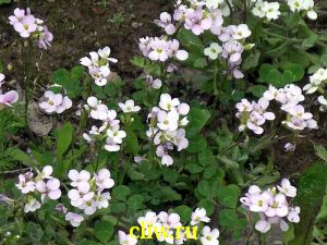 Арабис кавказский (arabis caucasica) капустные (brassicaceae) rosabella